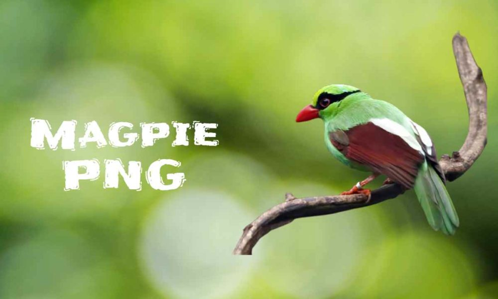 [Best 59+] Magpie PNG » HD Transparent Background