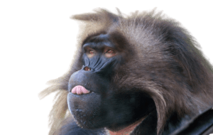 baboon png