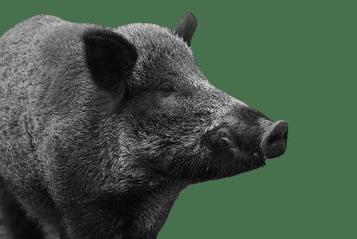 boar png
