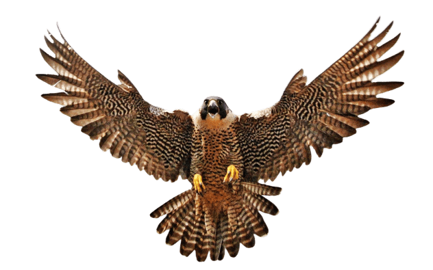 falcon png
