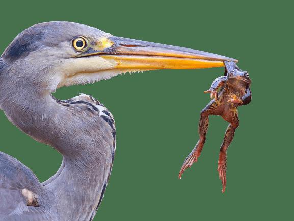 heron png