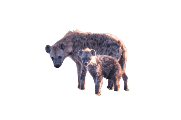 hyena png