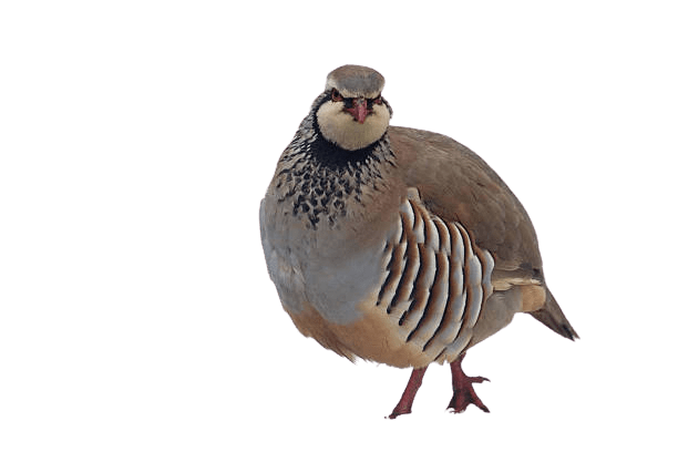 partridge png