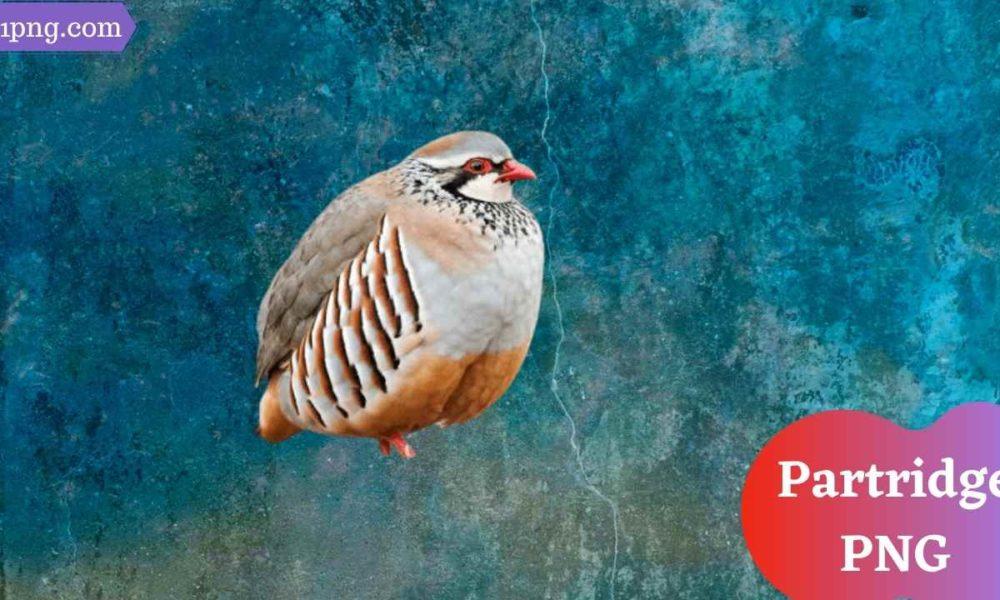 [Best 59+] Partridge PNG » Hd Transparent Background
