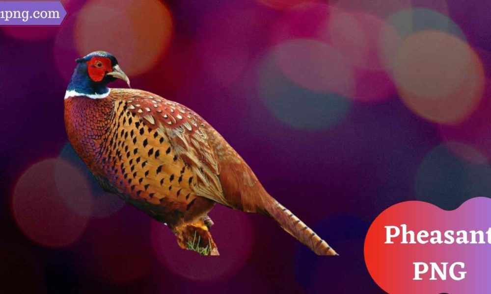 [Best +47+] Pheasant PNG » Hd Transparent Background