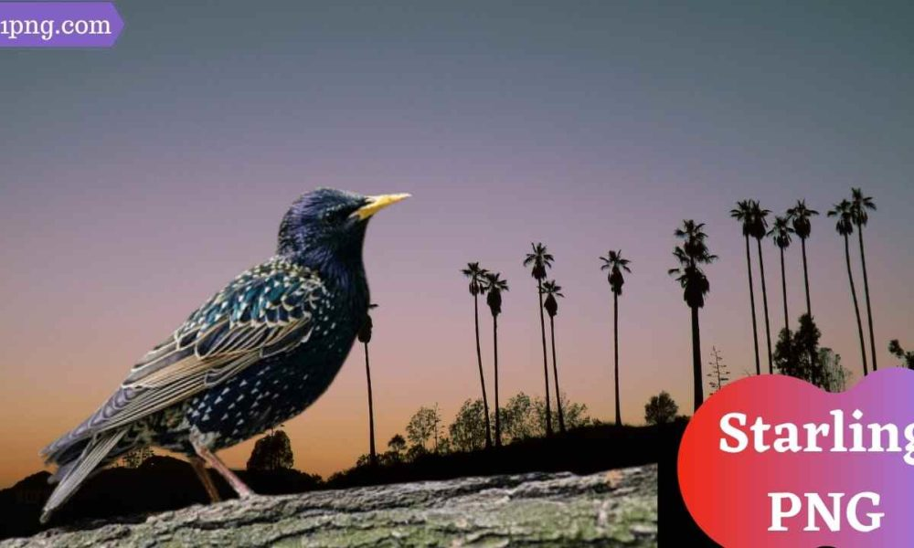 [Best 73+] Starling PNG » Hd Transparent Background