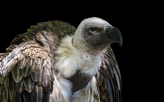vulture png