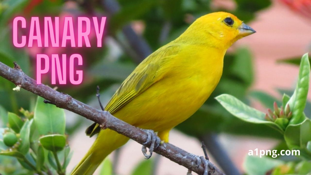 [Best 59+] Canary PNG » Hd Transparent Background